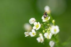 Insect die stuifmeel op bloem van Herders` s beurs verzamelen, Capsella-bu stock foto