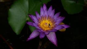 Insect die stuifmeel van purpere lotusbloembloem eten stock footage