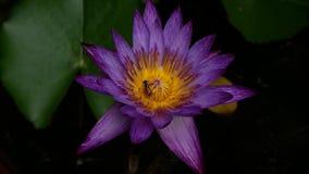 Insect die stuifmeel van purpere lotusbloembloem eten stock videobeelden
