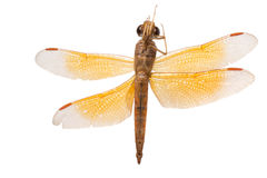 Insect dragonfly Stock Images