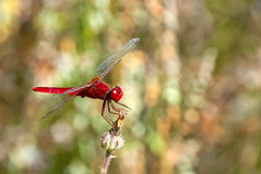 Insect-Dragonfly. Dragonfly resting on the flower (shallow depth of field Royalty Free Stock Images