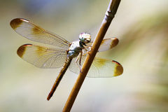 Insect - Dragonfly in Australia Stock Image