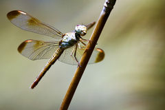 Insect - Dragonfly in Australia Stock Photography