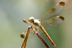 Insect - Dragonfly in Australia Royalty Free Stock Photography