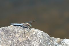Insect dragonfly black-tailed skimmer Orthetrum cancellatum Royalty Free Stock Photography