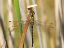 Insect, Dragonfly, Damselfly, Dragonflies And Damseflies stock photography