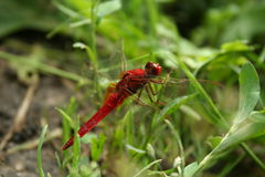 Insect dragonfly or damselfly Stock Images
