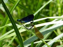 Insect, Dragonfly, Dragonflies And Damseflies, Damselfly stock photography