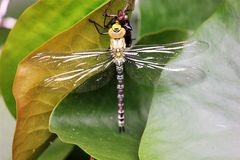 Insect, Dragonfly, Dragonflies And Damseflies, Invertebrate stock photos