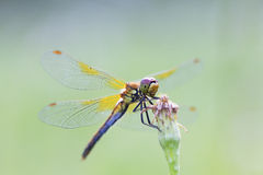 Insect dragonfly Royalty Free Stock Photography