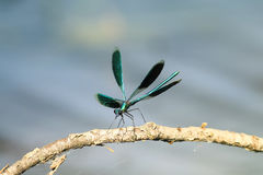 Insect dragonfly green iridescent beauty sitting on a tree branch. With its wings outstretched Royalty Free Stock Images