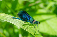 Insect dragonfly on leaf Stock Photography