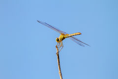 Insect of a dragonfly sitting on a tree twig Stock Photos