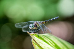 Insect dragonfly wallpaper, bright sunlight, close-up, nature, beauty, vegetation Stock Photography