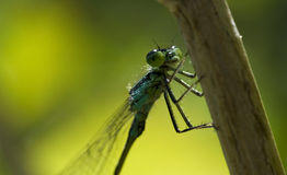 The insect dragonfly in the wild Royalty Free Stock Photography
