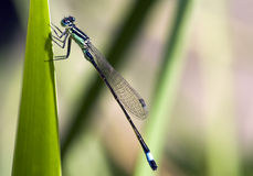 The insect dragonfly in the wild Royalty Free Stock Photo