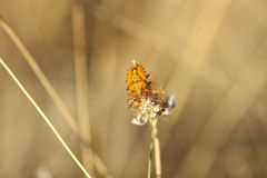 Insect on dried flower Royalty Free Stock Photo