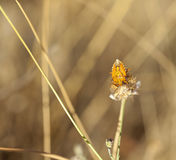 Insect on dried flower Stock Photography