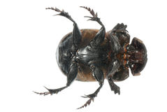 Insect dung beetle Stock Photos