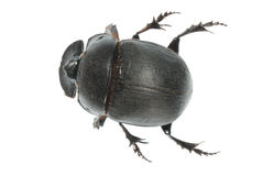 Insect dung beetle. Isolated in white background Royalty Free Stock Photos