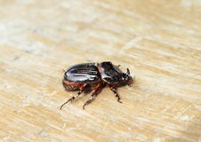 Insect dynastinae. Small black bug with horn on wooden Stock Photos