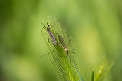Insect on Ear. Insect on Green Ear in the Sunset Royalty Free Stock Photography