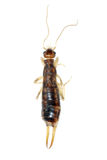 Insect earwig isolated Royalty Free Stock Images