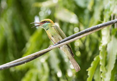 Insect-eater bird. Bird with vibrant colors and open beak Stock Photography