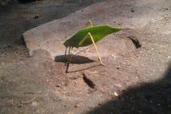 Insect of een blad Stock Afbeeldingen