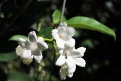 Insect in een witte bloem Stock Fotografie