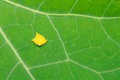 Insect Eggs on Green Leaf. A close-up of insect eggs on a green nasturtium leaf Stock Images