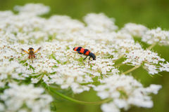 Insect enjoys flower. Small garden red insect enjoys white flower Royalty Free Stock Image