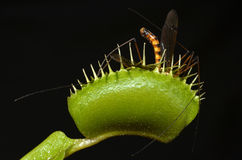 Insect entrap. Carnivorous plant entrap giant mosquito in her leaf Royalty Free Stock Photography
