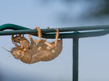 Insect exoskeleton on fence Royalty Free Stock Photo