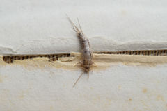 Insect feeding on paper - silverfish Royalty Free Stock Photo