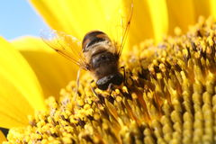 Insect feeding on sunflower Royalty Free Stock Image