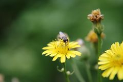 Insect feeds on the pollen of plants. Little bug on yellow flower Royalty Free Stock Photo