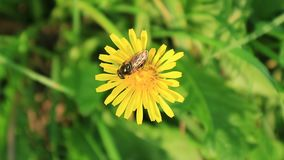 Insect. An insect on a flower stock video footage