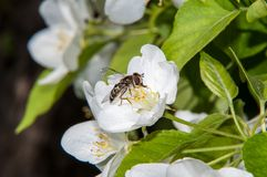 Insect on flower Apple Royalty Free Stock Photography