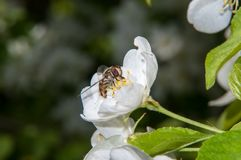 Insect on flower Apple Stock Images