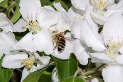 Insect on flower Apple Royalty Free Stock Photo