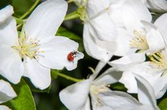 Insect on flower Apple Stock Image