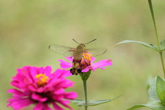 Insect on flower. Big insect flying over on pink flower (cross-pollination) to transfer of pollen from an anther of the flower of one plant to a stigma of the Royalty Free Stock Photography
