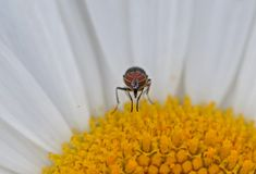 Insect on flower. INSECT ON YELLOW FLOWER. BEAUTIFUL REAL IMAGE Royalty Free Stock Photos
