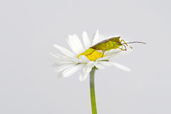 Insect on flower in the nature. Stock Image