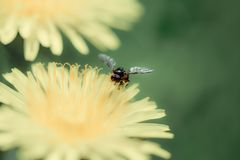 Insect, Flower, Nectar, Honey Bee Stock Photography