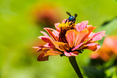 Insect and flower Royalty Free Stock Photography