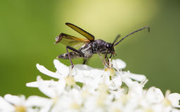 Insect on flower Royalty Free Stock Photo