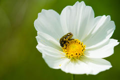 Insect on flower. An insect on flower trying to eat nectar Royalty Free Stock Photos
