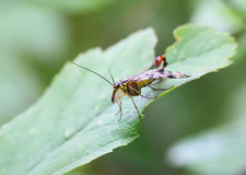 Insect fly (Рапог�а). Stock Photos